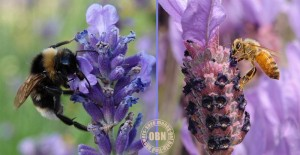 Honey made from lavender is very highly regarded.