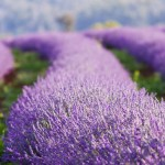 A lavender farm in Tasmania, Australia