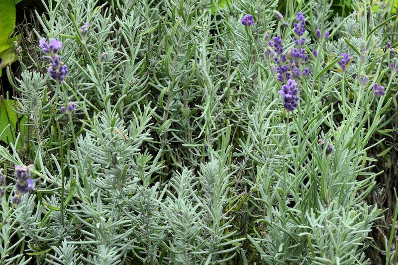 Lavandula angustifolia - English or common lavender