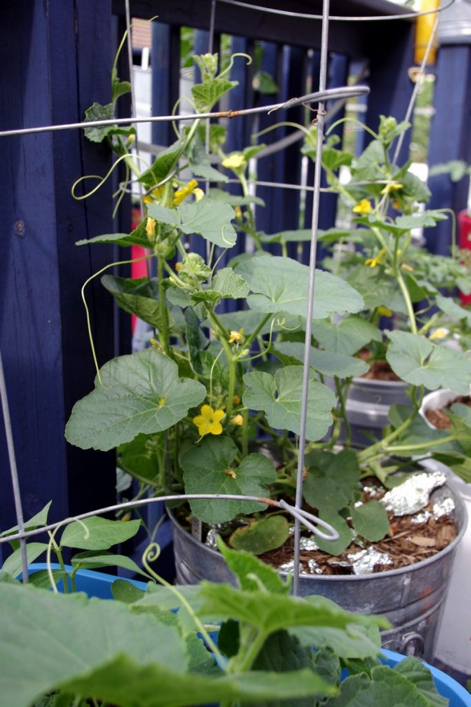 Vegetables That Grow Well In A Container Or Pot The Garden