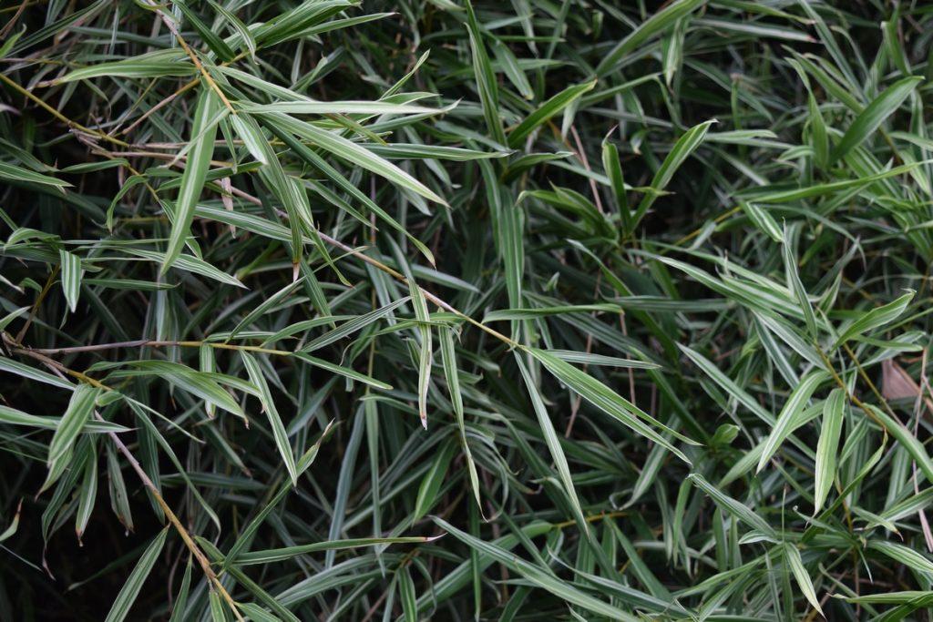 A close up of the beautiful variegation of Bambusa heterostachya cv. Variegated (Malay Dwarf)