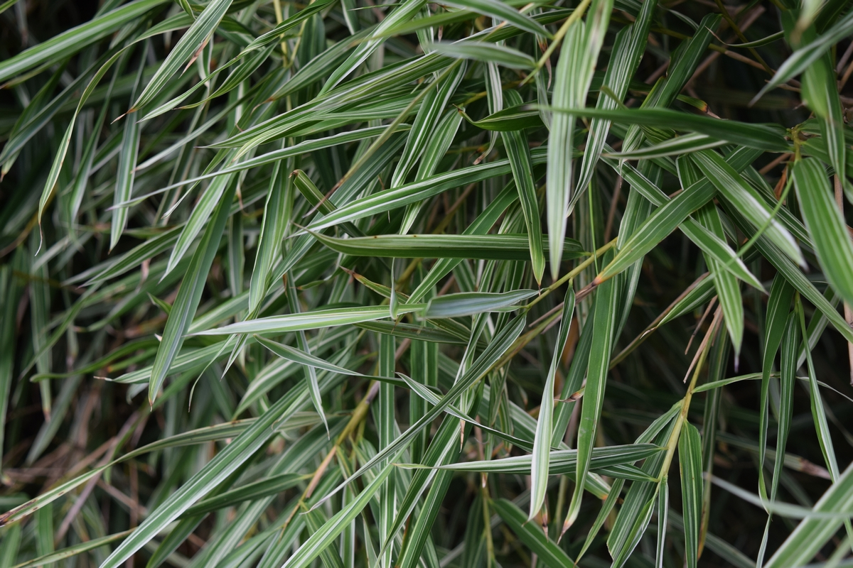 The colouring of Bambusa heterostachya cv Variegated is hard to beat in hedging bamboos.