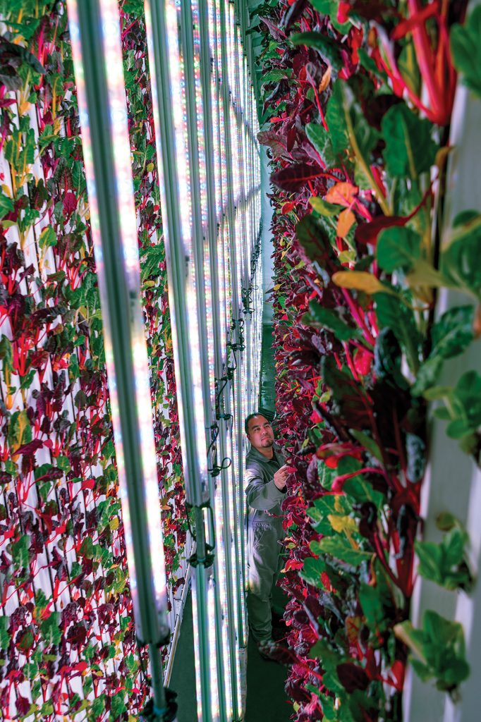 Over the Rainbow Chard: A worker tends to double-sided walls of rainbow chard at one of Plenty's facilities. Tubes of LEDs tuned for these specific plants light the leaves from multiple angles, something conventional vertical farms are now starting to experiment with by lighting the leaves from beneath as well as above.