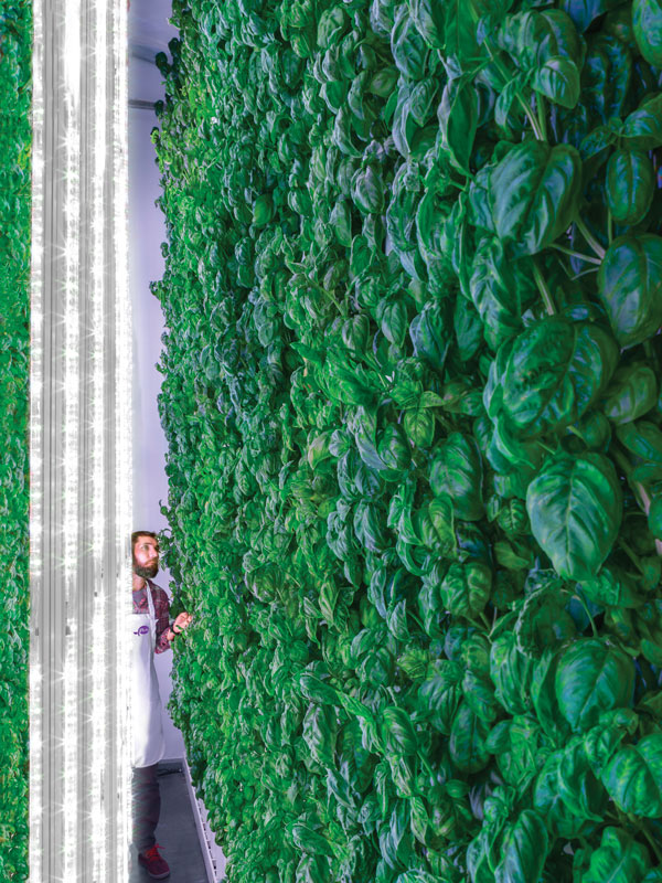 Wall of Plenty: A wall of basil is bathed in light from LED tubes, which are optimized for this particular crop by Plenty's proprietary machine-learning algorithms.