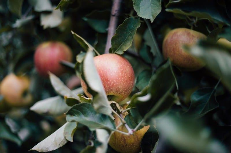 Home-grown apples