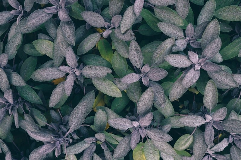 Sage is an easy herb to grow but has so many beneficial uses!