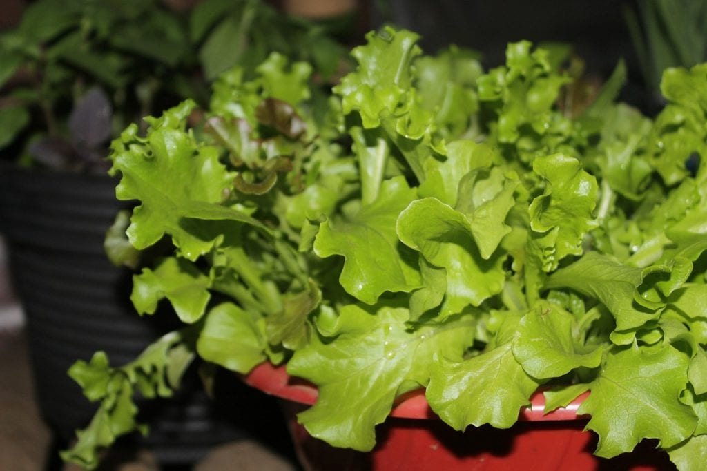 When growing lettuce, remember that they love shaded areas!