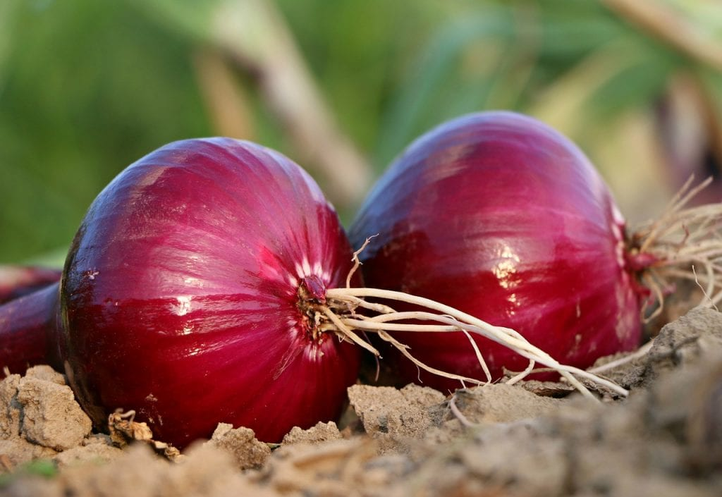 When planting onions, remember this: they don't like excess water!