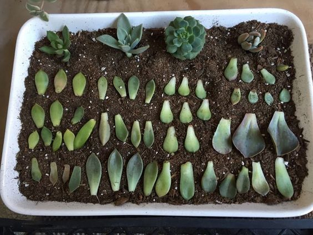 Propagating succulents is no rocket science; it requires basic know-how.