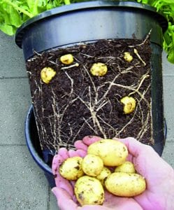 How to Grow Potatoes in Buckets Without Digging