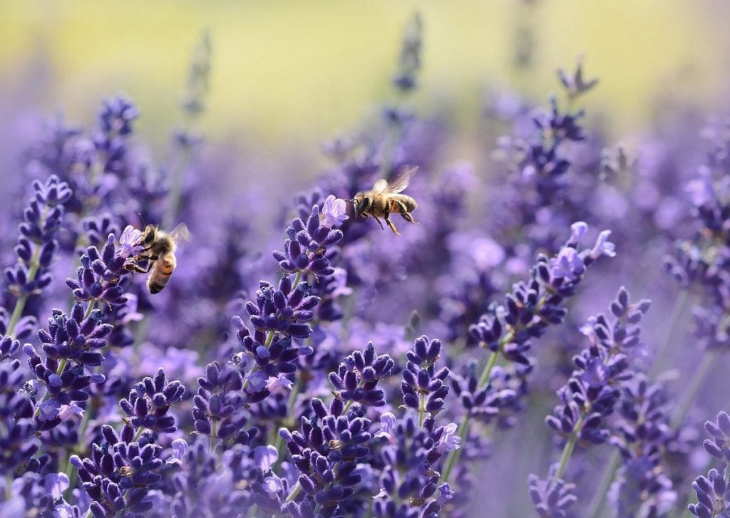 You may enjoy the scent of lavender but mosquitoes hate them!