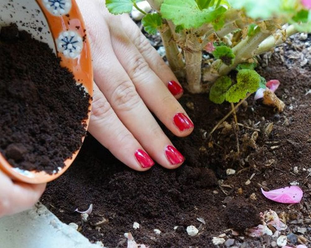 Used coffee grounds may be used in the garden in many ways...