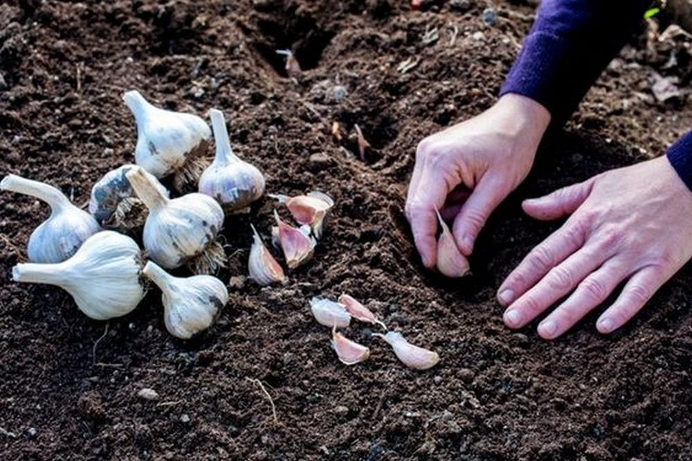 Growing your own garlic is fun and easy!