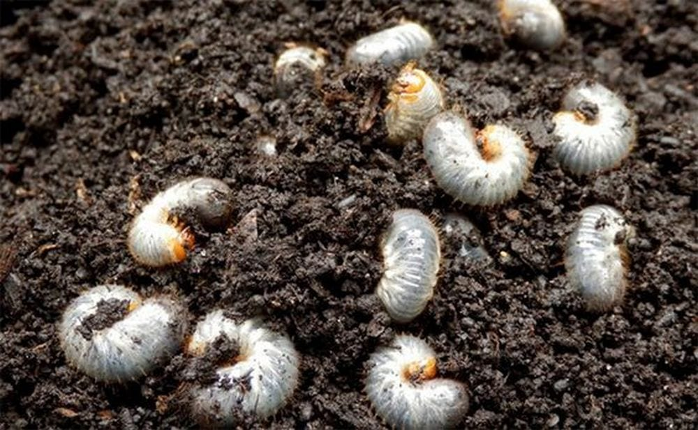 How to Get Rid of Grubs in Lawn Naturally