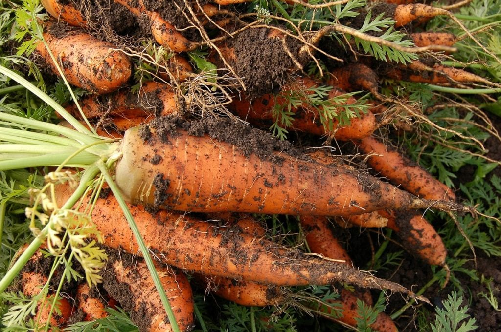 Carrots are a rich source of vitamins and carotene.