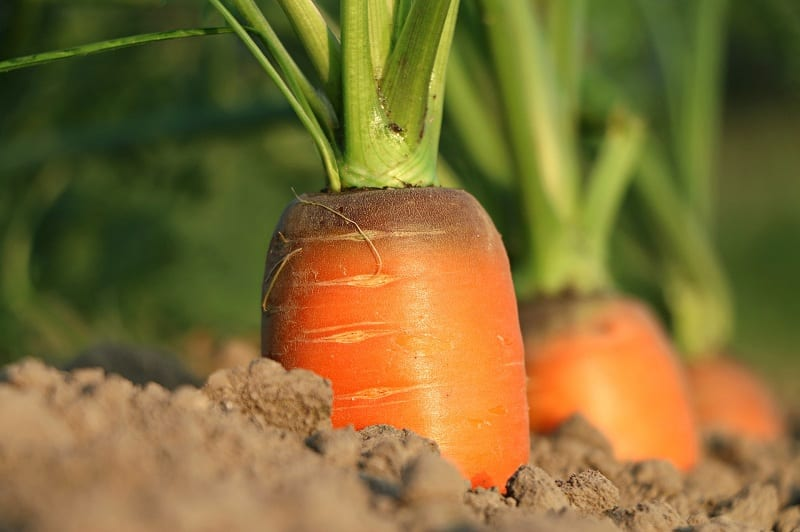 Carrots are sometimes slow to germinate.
