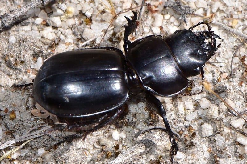 You will recognize ground beetles by their flattened body shape and ridged elytra.