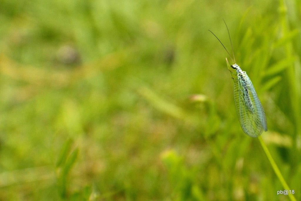 5 Predatory Insects You Want in Your Garden