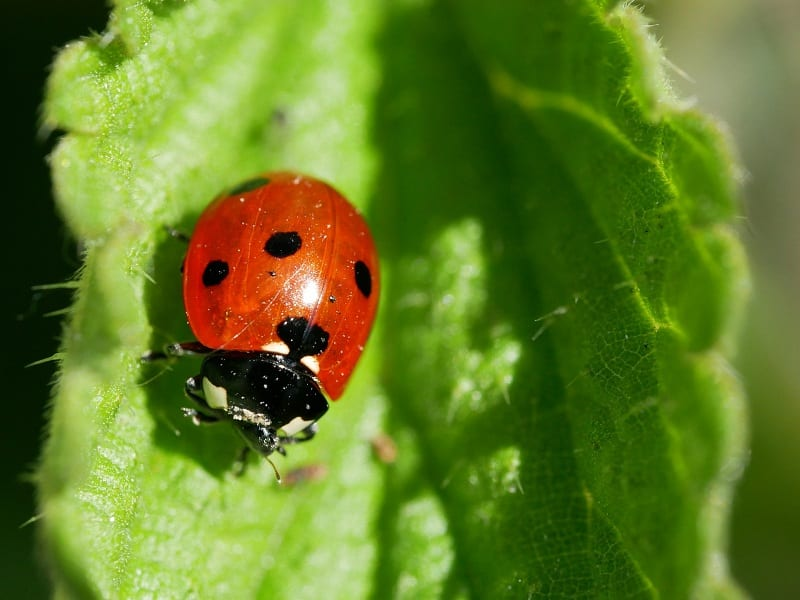 Ladybugs prey on aphids and other soft-bodied insects.