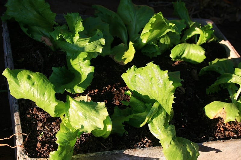 Growing vegetables in containers is an easy way to experience the fresh, vibrant flavors of home-grown vegetables.
