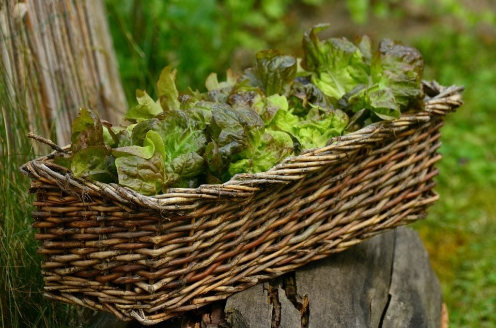 You can grow lettuce in almost any container.
