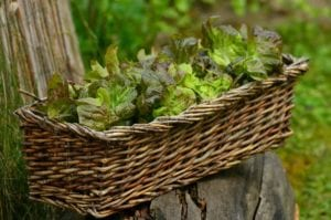How to Grow a Salad Leaves in a Container