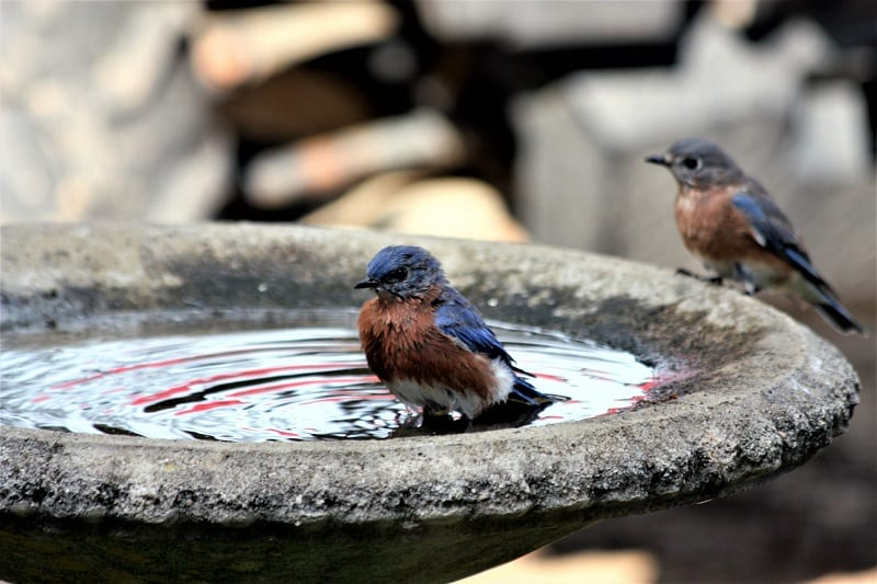Provide clean water for these pollinators with a shallow dish, bowl, or birdbath with half-submerged stones.