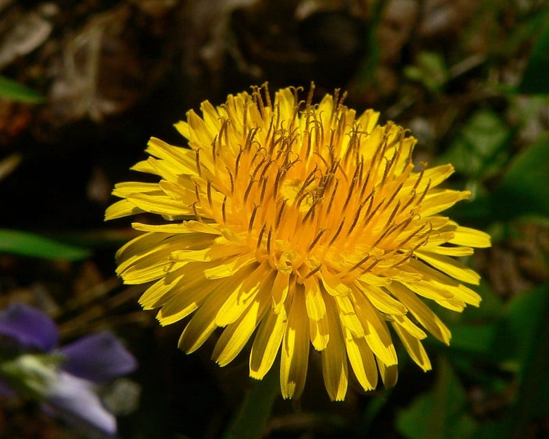 Young dandelions are particularly delicious when they are just about to emerge from the ground.