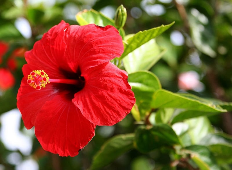 Experts say the flowers can lower blood pressure and blood fat levels.