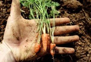 Baby Vegetables You can Grow in Your Garden