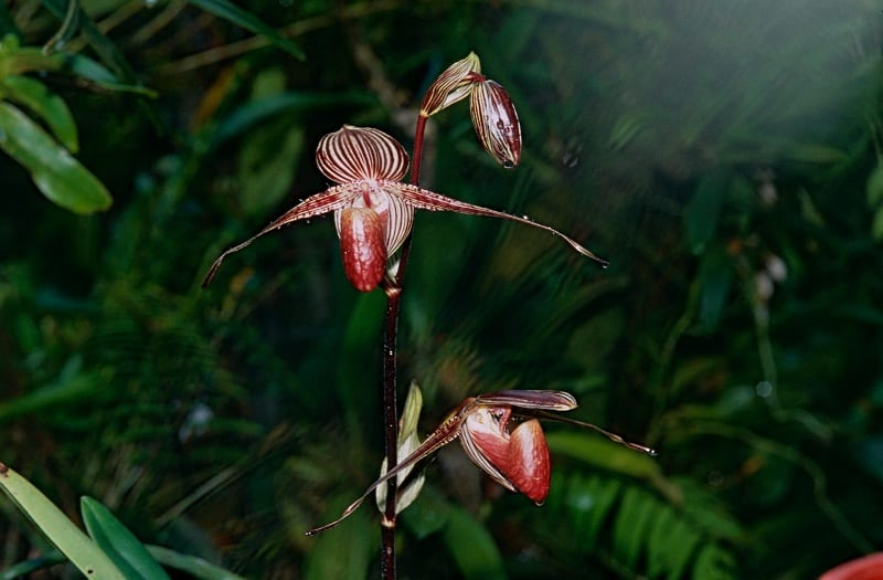 The endangered Gold of Kinabalu Orchid is currently valued at around $,5,000 a stem.
