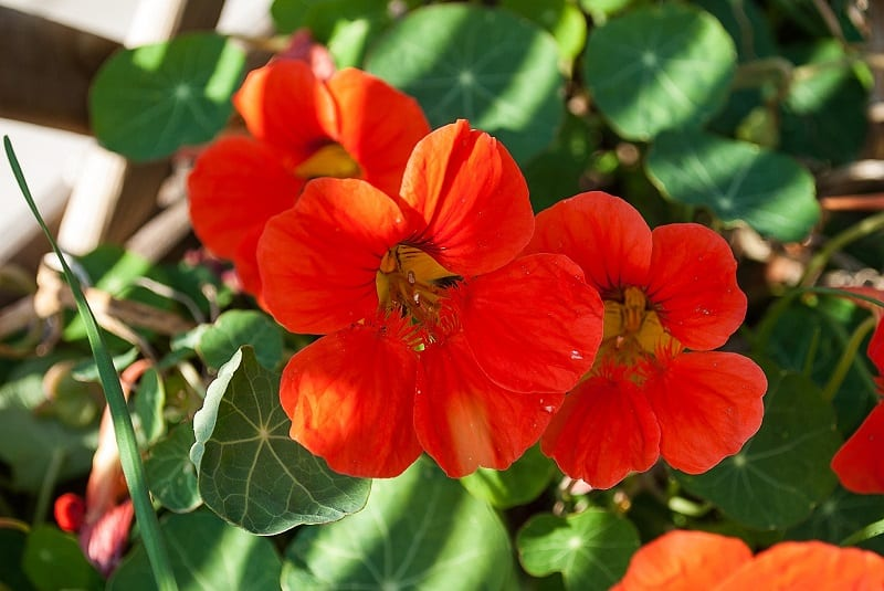 You can use nasturtiums to spice up a plain salad or dish