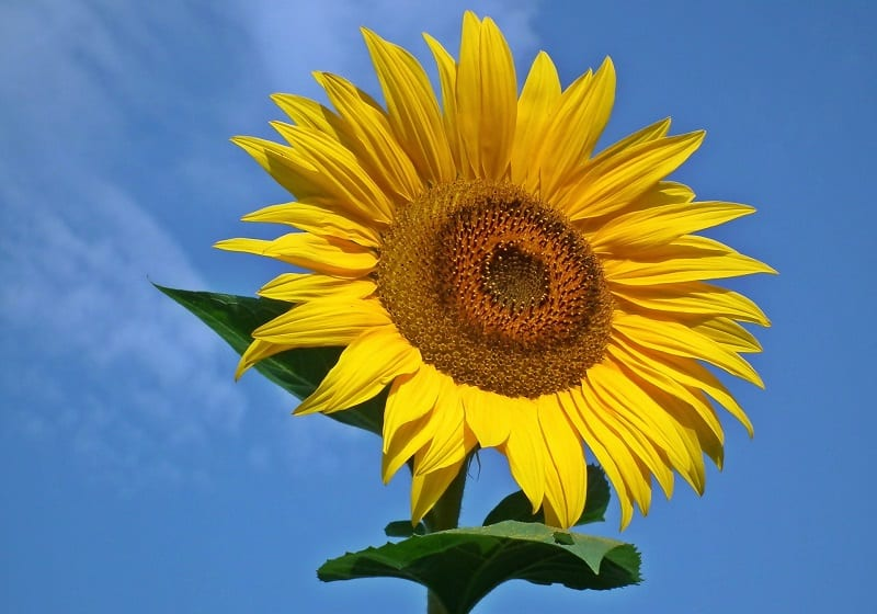 You can harvest the unopened buds of sunflowers, remove the sepals, and steam the buds until tender.