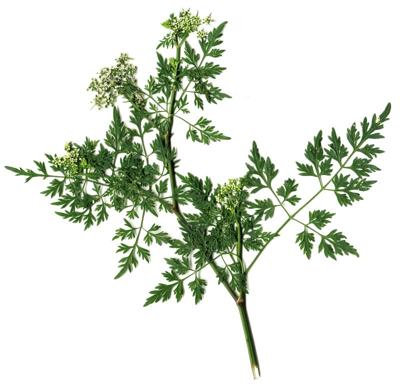 You can start chervil from the seed in moist potting soil.