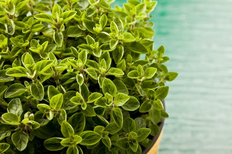 You can buy oregano from nursery-raised stock or you can try growing the plant from seeds.