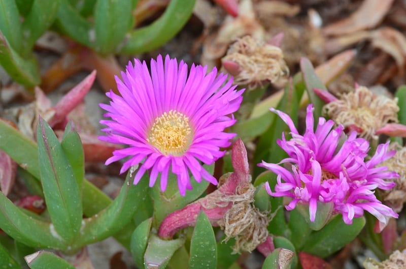 You can grow Australian native succulents such as pigface, moonflower, different-colored portulacas, parakeelya, flame trees, and boabs.