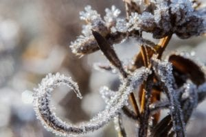 Caring for Frost-Damaged Plants