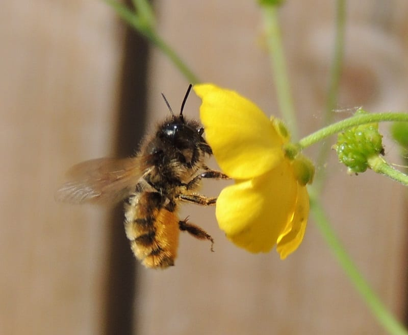 Bees pollinate 70 percent of the plants that provide nearly all of the world's nutrition.