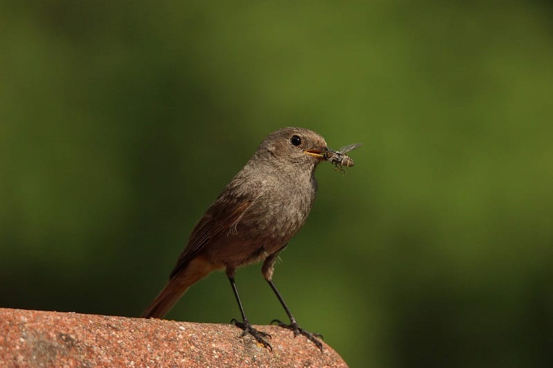 Some 96 percent of the world's songbirds rely on insects to feed their young.