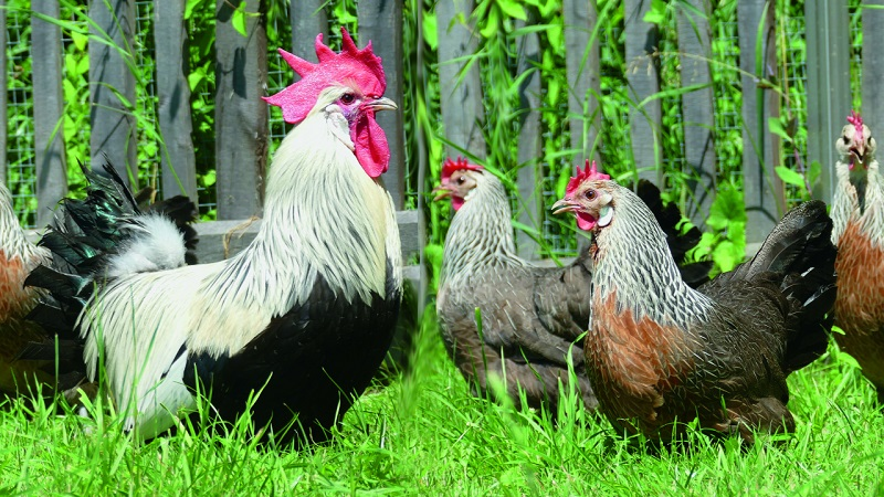 Chickens can be fantastic little helpers in your garden.