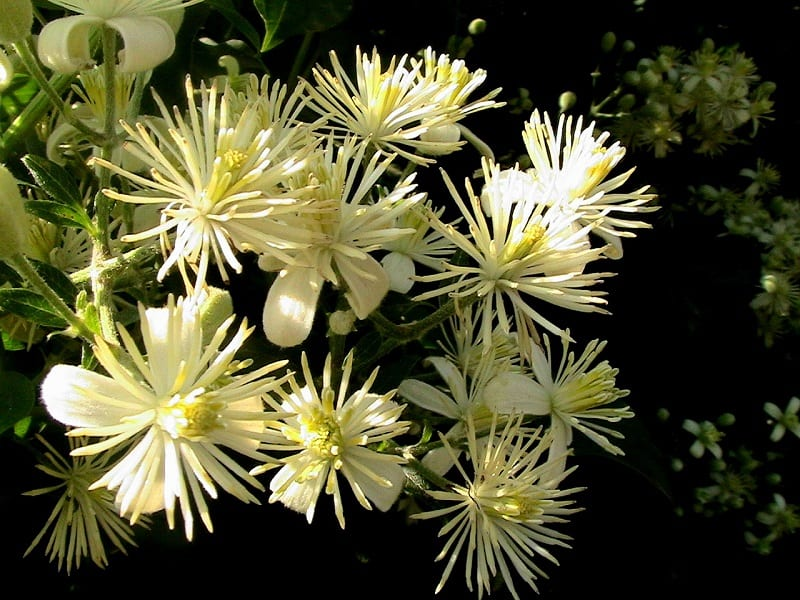 Clematis, a climbing plant, blooms with masses of star-shaped, wide, white flowers late in spring through early summer.