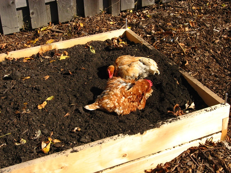 Turning a compost pile can be a tedious, laborious chore, but your chickens can some of the work for you.
