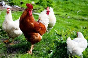 Chickens are Good Helpers in the Garden