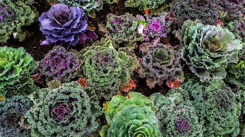 The remarkably hardy kale is rich in fiber, minerals, and packed with Vitamin K, Vitamin A, and Vitamin C.