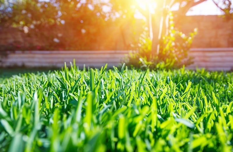 A stand of thick grass discourages weeds and endures seasonal temperature extremes.