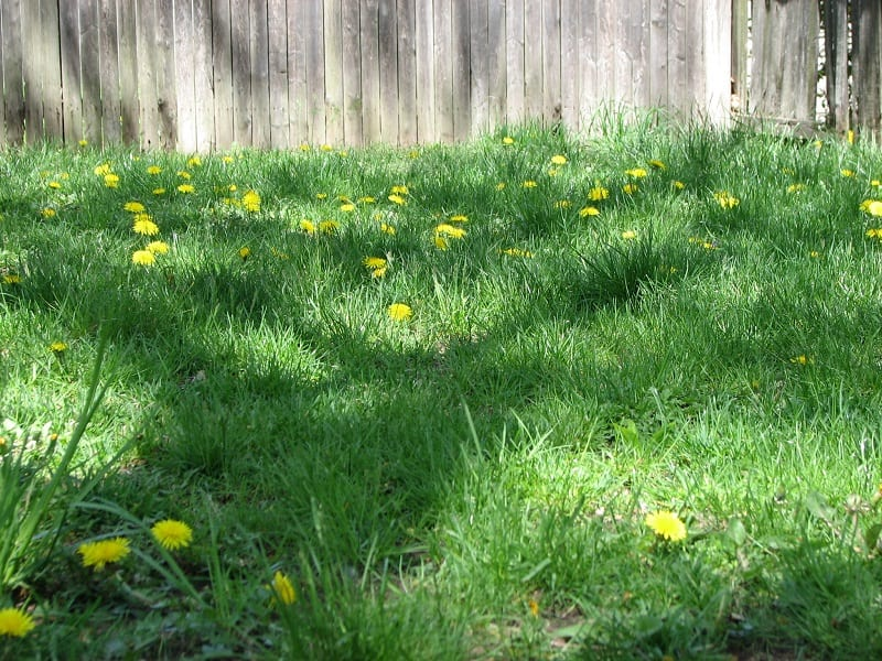 Thousands of American families have dug up their lawns and put in vegetable gardens and wildflowers.