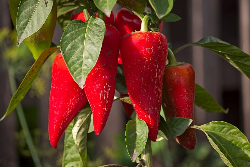 People in Central and South America, Mexico, and the West Indies have grown peppers for thousands of years.