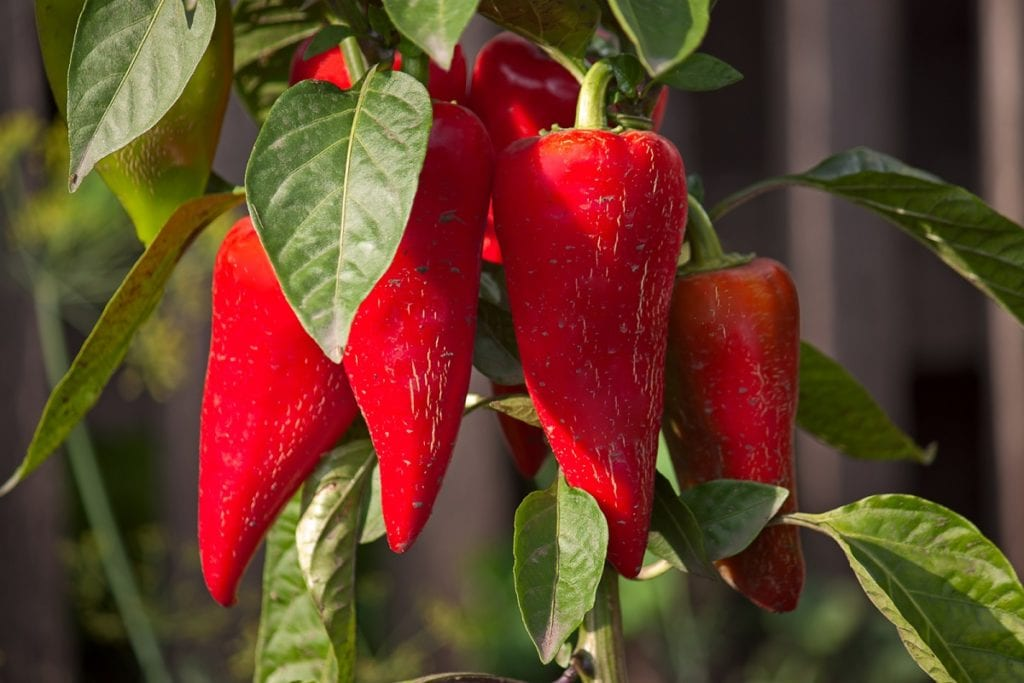 How to Grow Peppers