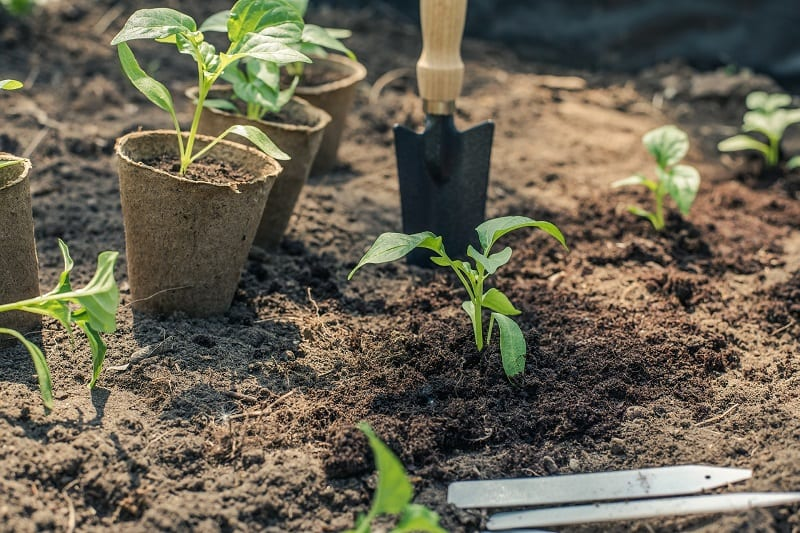 Choose a sunny spot with deep, rich, and loamy soil for your pepper seedlings.