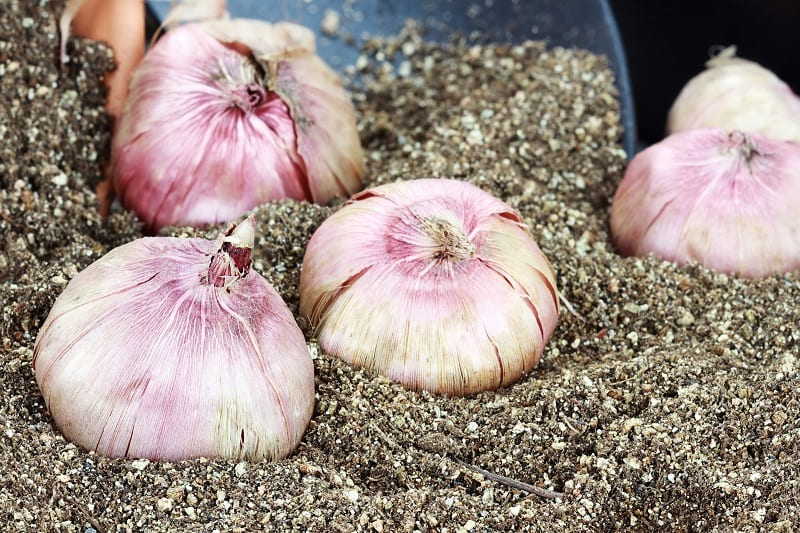 Perlite is an excellent medium for storing bulbs over winter